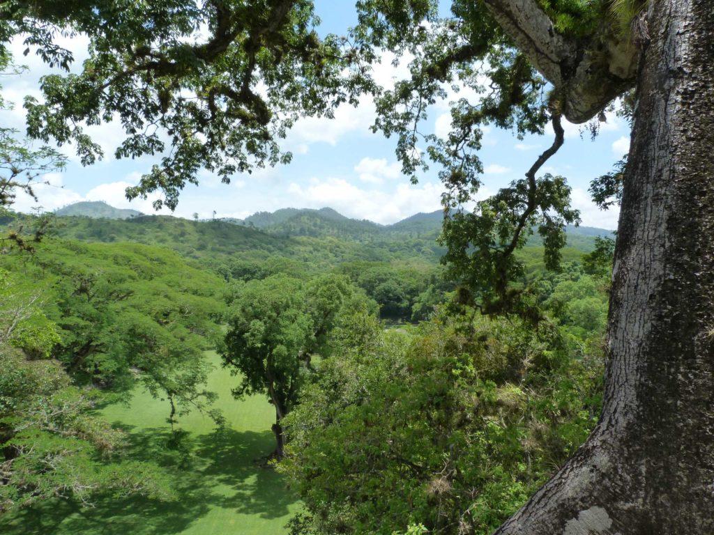 satt grüner Wald mit überragendem Urwaldriesen