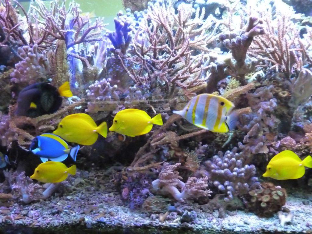 Aquarium mit gelben Fischen und Korallen